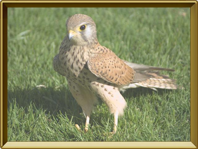 Пустельга — птица, фото в рамке №2