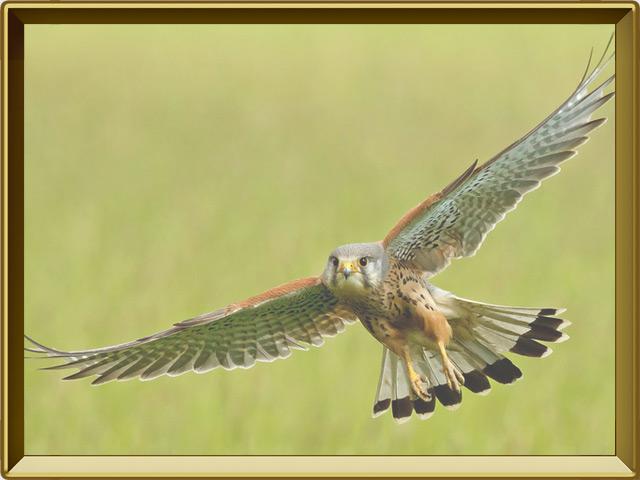 Пустельга — птица, фото в рамке №3