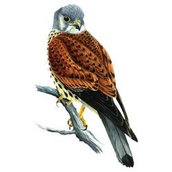 Пустельга — птица, картинка цветная