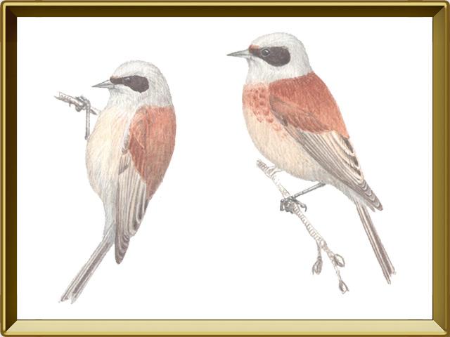 Ремез — птица, фото в рамке №1