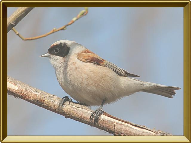 Ремез — птица, фото в рамке №2
