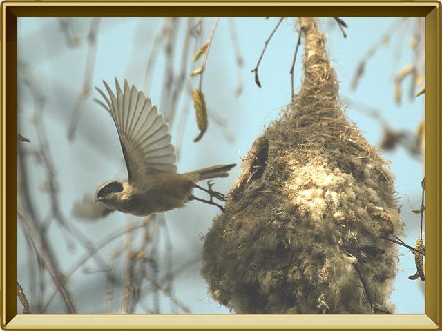 Ремез — птица, фото в рамке №3