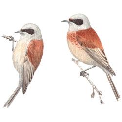 Ремез — птица, картинка цветная