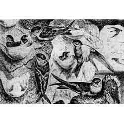 Салангана — птица, картинка чёрно-белая