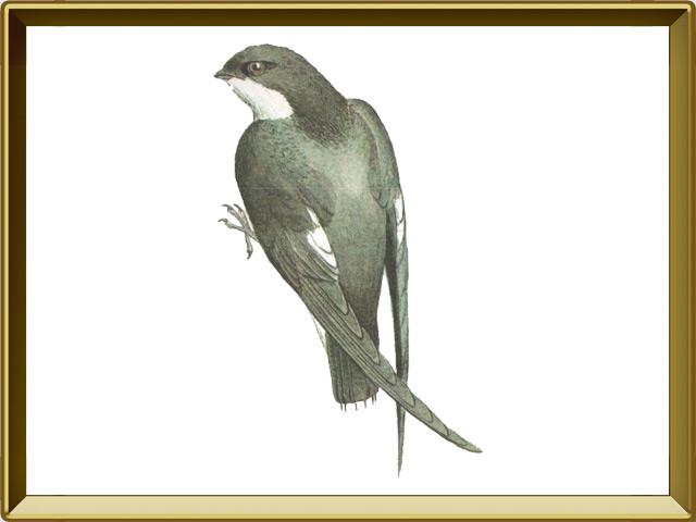 Салангана — птица, фото в рамке №1