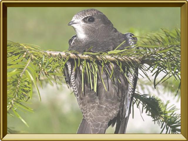 Салангана — птица, фото в рамке №2