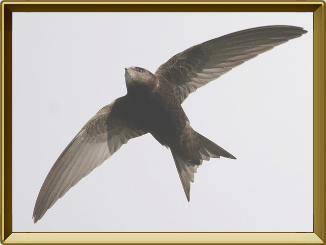 Салангана — птица, фото в рамке №3
