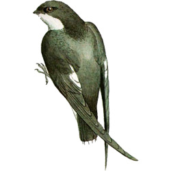Салангана — птица, картинка цветная