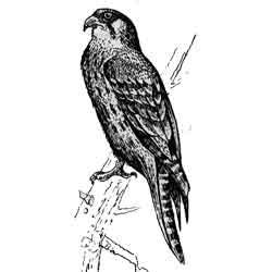 Сапсан — птица, картинка чёрно-белая