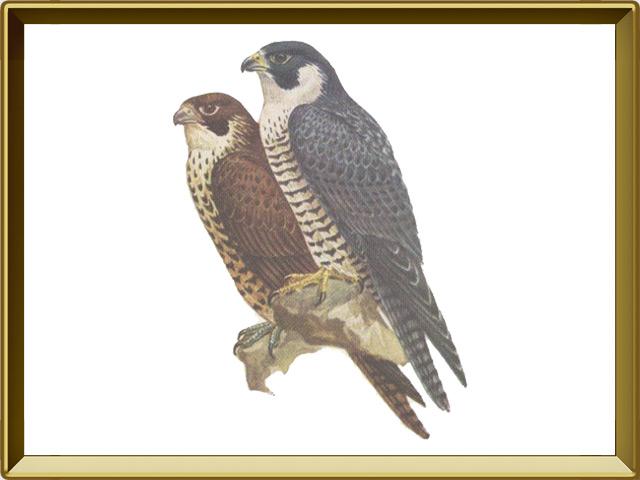 Сапсан — птица, фото в рамке №1
