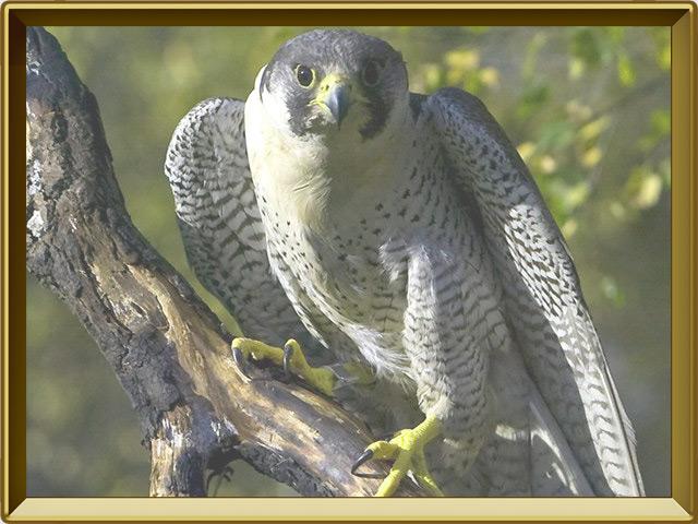 Сапсан — птица, фото в рамке №2