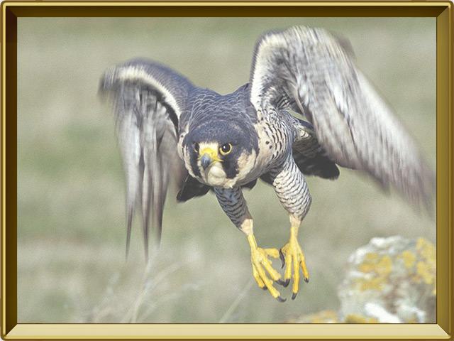 Сапсан — птица, фото в рамке №3