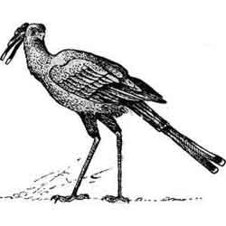 Секретарь — птица, картинка чёрно-белая
