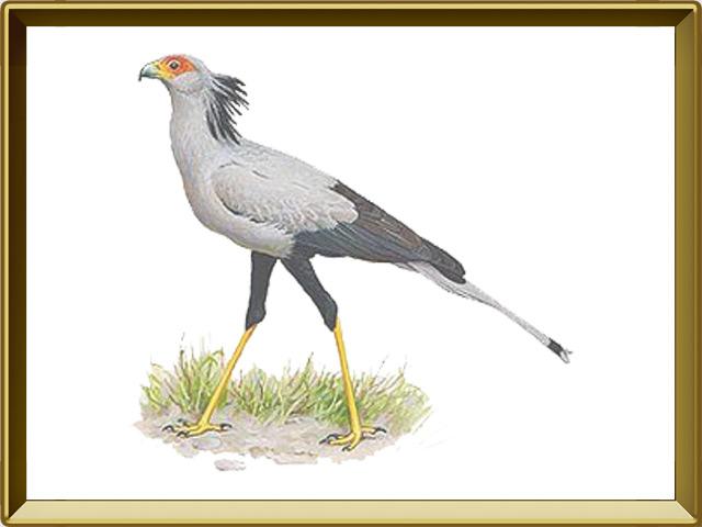 Секретарь — птица, фото в рамке №1
