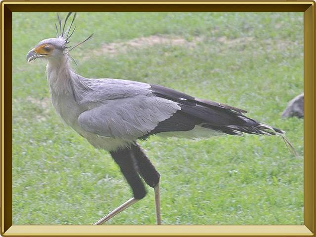 Секретарь — птица, фото в рамке №2