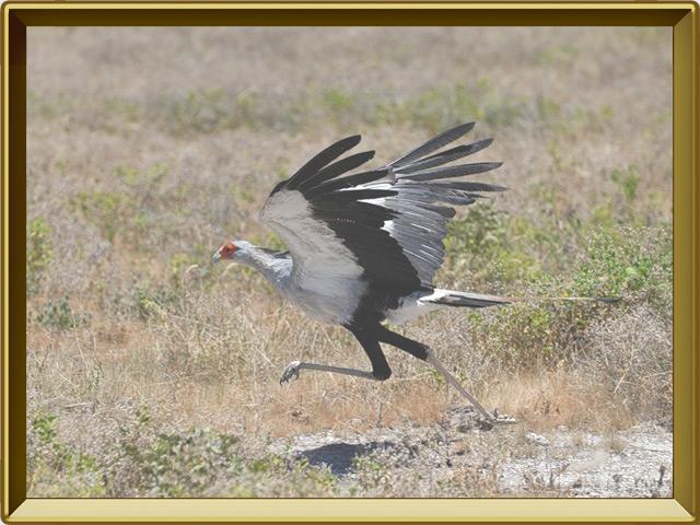 Секретарь — птица, фото в рамке №3