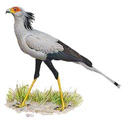Секретарь — птица, картинка цветная