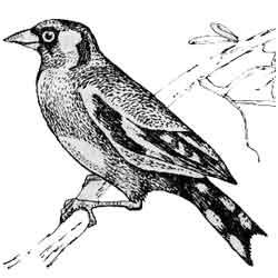 Щегол — птица, картинка чёрно-белая