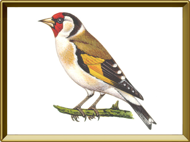 Щегол — птица, фото в рамке №1