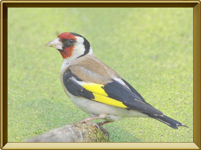 Щегол — птица, фото в рамке №2