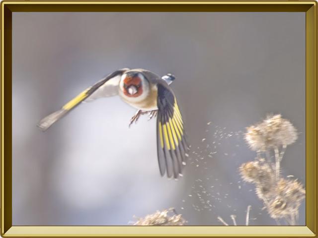 Щегол — птица, фото в рамке №3