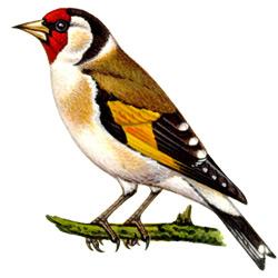 Щегол — птица, картинка цветная