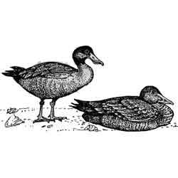 Широконоска — птица, картинка чёрно-белая