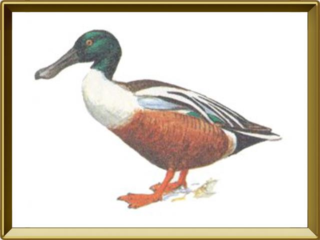 Широконоска — птица, фото в рамке №1