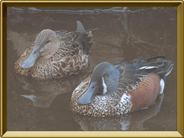 Широконоска — птица, фото в рамке №2