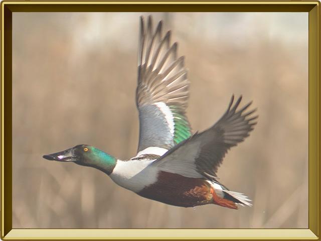 Широконоска — птица, фото в рамке №3