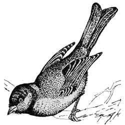 Синица — птица, картинка чёрно-белая