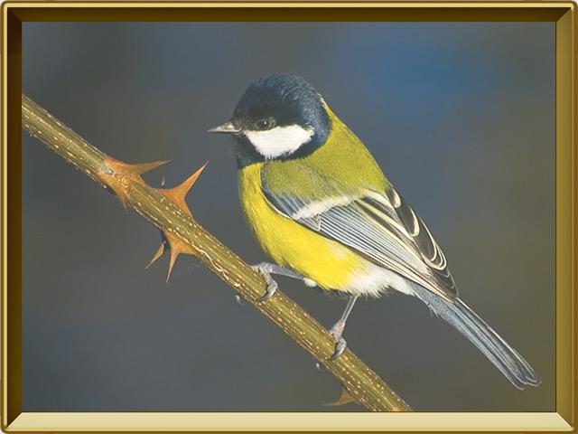 Синица — птица, фото в рамке №2