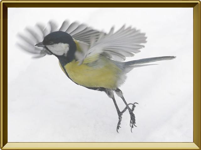 Синица — птица, фото в рамке №3