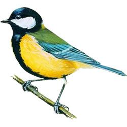 Синица — птица, картинка цветная