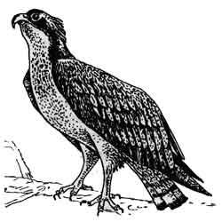 Скопа — птица, картинка чёрно-белая