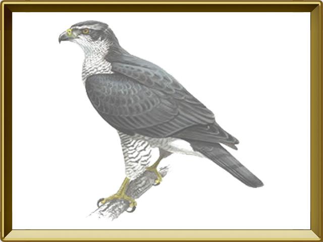 Скопа — птица, фото в рамке №1