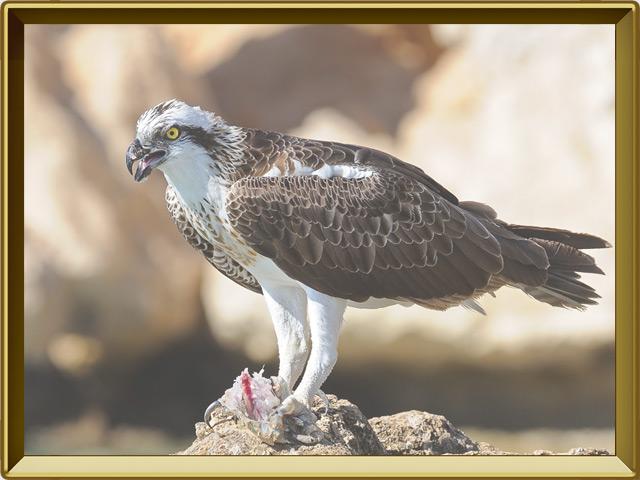Скопа — птица, фото в рамке №2