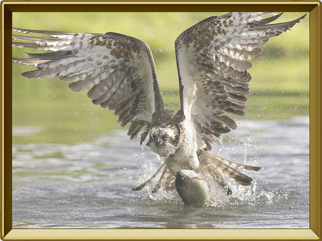 Скопа — птица, фото в рамке №3