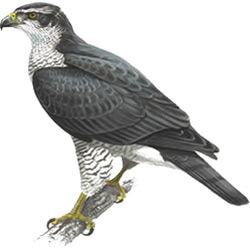Скопа — птица, картинка цветная