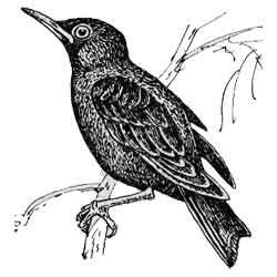 Скворец — птица, картинка чёрно-белая