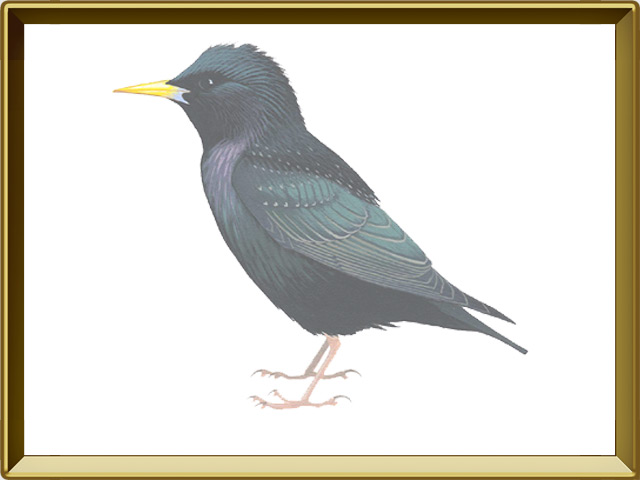 Скворец — птица, фото в рамке №1