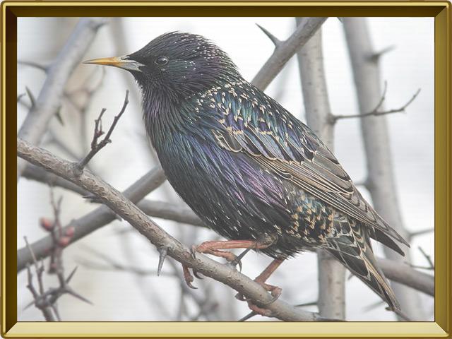 Скворец — птица, фото в рамке №2