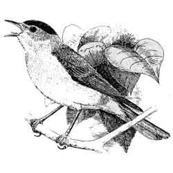 Славка — птица, картинка чёрно-белая