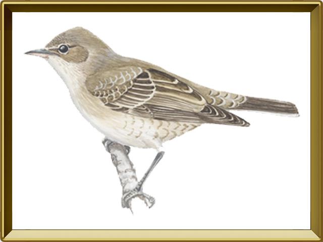 Славка — птица, фото в рамке №1