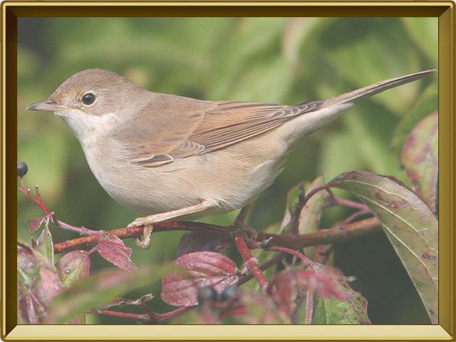 Славка — птица, фото в рамке №2