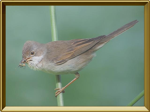 Славка — птица, фото в рамке №3