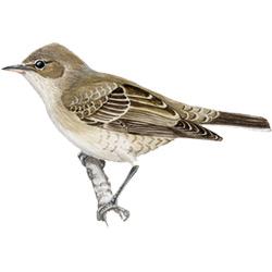 Славка — птица, картинка цветная