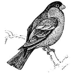 Снегирь — птица, картинка чёрно-белая