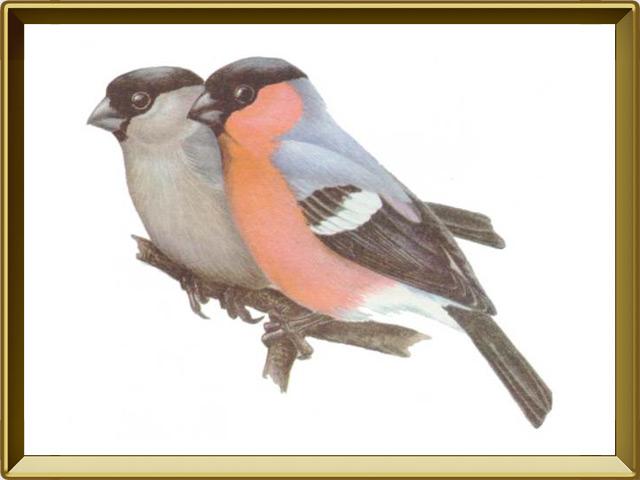 Снегирь — птица, фото в рамке №1