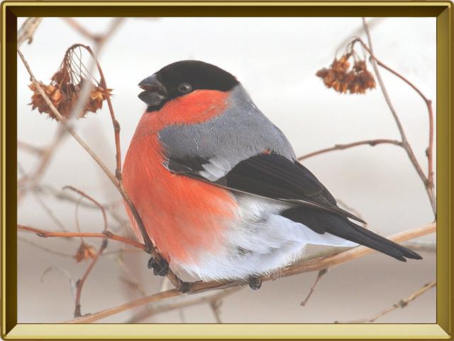 Снегирь — птица, фото в рамке №2
